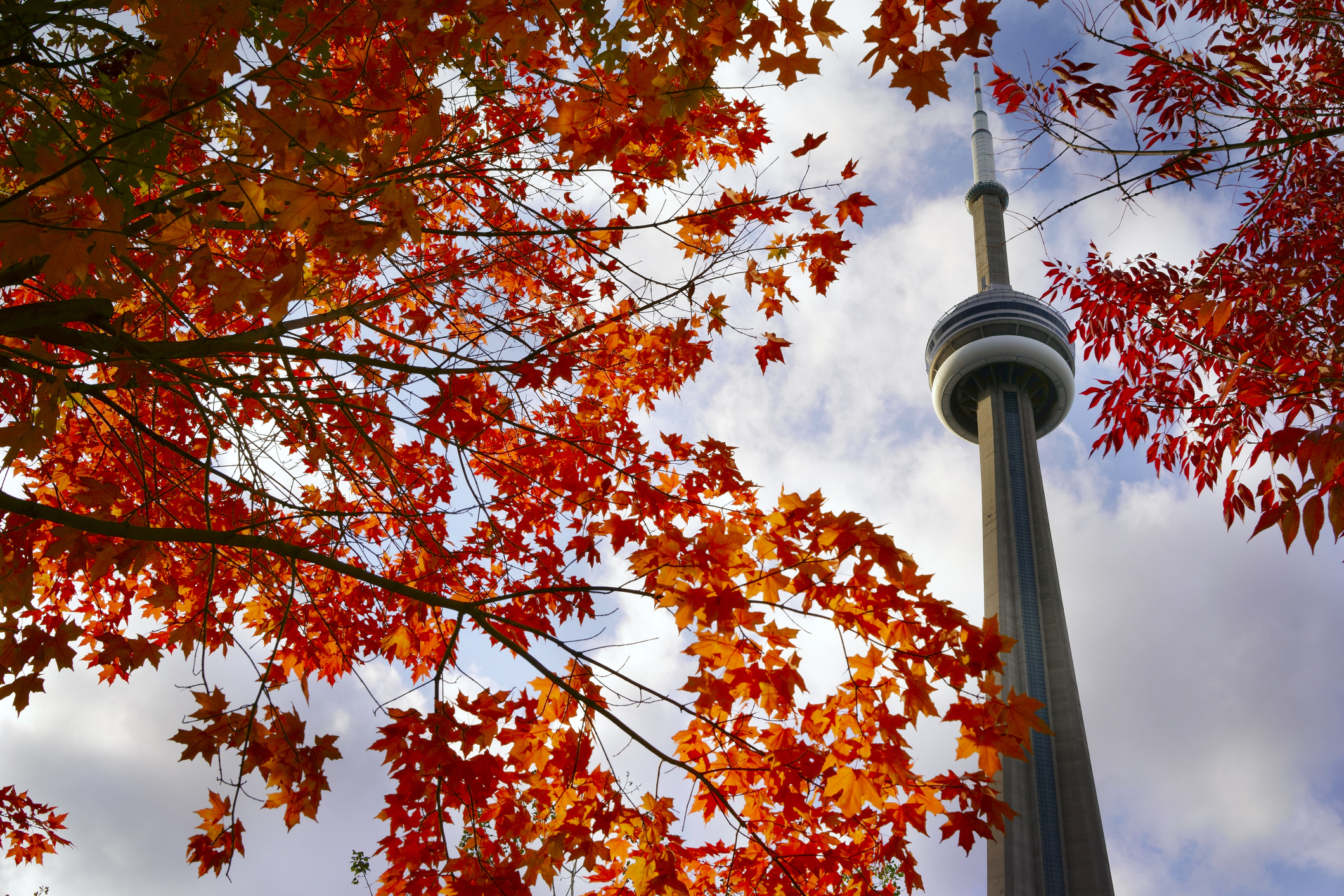 View of red maple tree and CN Tower